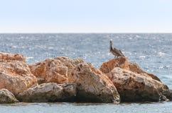 在一个岩石的鹈鹕在加勒比 库存照片