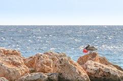 在一个岩石的鹈鹕在加勒比 库存图片