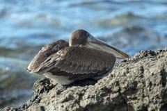 在一个岩石的鹈鹕在圣克鲁斯岛 图库摄影