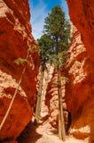 在一个峡谷的结构树在Bryce峡谷,犹他,美国 免版税图库摄影