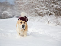 在一个帽子的一条狗在一个多雪的森林里 库存图片