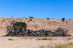 在一个干旱的风景的偏僻的死的树 库存照片