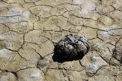 在一个干泥滩的干水牛排汇物 图库摄影