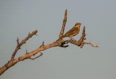 在一个干燥分支的一群棕榈鸣鸟 库存图片