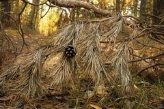 在一个干燥分支的干燥锥体在森林温暖的秋天 库存图片