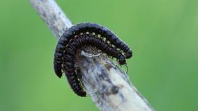 在一个干燥分支的联接的蜈蚣在野生生物关闭  影视素材