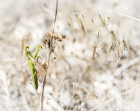 在一个干燥分支的绿色螳螂在夏天 免版税库存图片