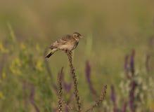 在一个干燥分行的云雀男性开会在干草原。 图库摄影