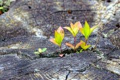在一个干燥树桩的小绿色新芽在森林里 库存图片