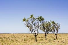 在一个干燥,光秃,空的风景与黄色草和蓝色无云的天空的三棵树 库存照片