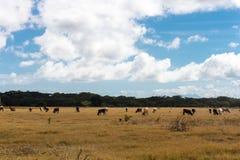 在一个干领域的母牛 免版税图库摄影