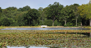 在一个平静的池塘的荷花 库存照片