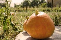 在一个庭院的背景的黄色南瓜在秋天 免版税库存照片