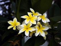 在一个庭院的赤素馨花黄色和白花威尼斯海滩的,洛杉矶, LA,加利福尼亚,加州 免版税库存照片