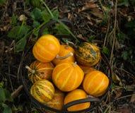 在一个庭院篮子的装饰小圆的南瓜在地面上 免版税库存照片