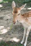 在一个开放动物园里在泰国吃菜的鹿 免版税库存图片