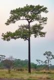 在一个开放领域的一棵Merkus杉树 库存图片