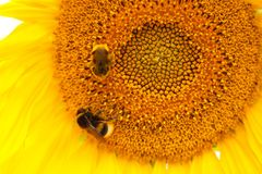 在一个开花的向日葵的两只土蜂 库存照片
