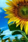 在一个开花的向日葵的坐的土蜂 库存照片