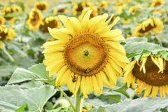 在一个开花的向日葵的蜂,碧玉,乔治亚,美国 图库摄影
