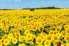 在一个开花的向日葵的领域的汽车 图库摄影