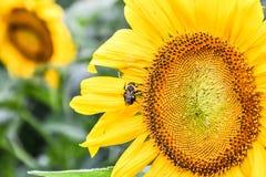 在一个开花的向日葵,碧玉,乔治亚,美国的一只蜂 图库摄影