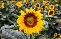 在一个开花的向日葵,碧玉,乔治亚,美国的一只蜂 库存照片