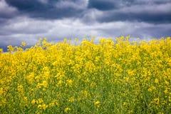 在一个开花的油菜籽领域的风雨如磐的天空-种田危机概念 库存图片