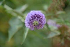 在一个开花的淡紫色分支上的中心的直接焦点 免版税图库摄影