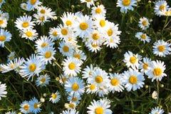 在一个开花的草甸的雏菊 背景看板卡花卉问候页夏天模板普遍性万维网 库存照片