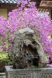 在一个异常的岩石后的开花的灌木 免版税图库摄影