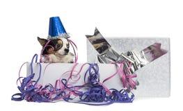 戴在一个当前箱子的奇瓦瓦狗一个党帽子有飘带的 库存图片