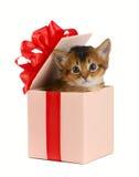 在一个当前箱子的逗人喜爱的索马里小猫 免版税库存照片