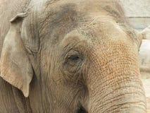 在一个徒步旅行队公园的一头大象在英国 库存照片