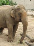 在一个徒步旅行队公园的一头大象在英国 免版税库存图片