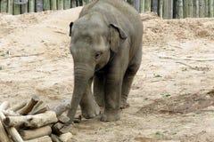 在一个徒步旅行队公园的一头婴孩大象在英国 库存图片