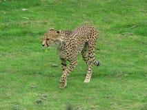 在一个徒步旅行队公园的一头猎豹在英国 免版税库存照片