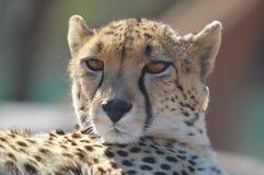 在一个徒步旅行队期间的一张年轻逗人喜爱的猎豹画象在一种比赛储备在南非 库存照片