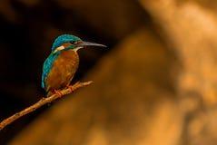 在一个微小的分支栖息的小的翠鸟 免版税库存照片