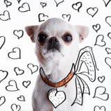 在一个心形的地址持有人的滑稽的白色奇瓦瓦狗 库存照片