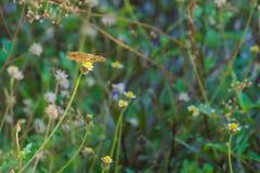 在一个惊人的小组的一只美丽的棕色,橙色和黑泰国蝴蝶微小的白色和黄色花上面,在泰国庭院公园 库存图片