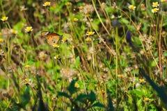 在一个惊人的小组的一只美丽的橙色,白色和黑泰国蝴蝶微小的白色和黄色花上面,在泰国庭院公园 免版税图库摄影