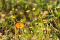 在一个惊人的小组的一只美丽的橙色,白色和黑泰国蝴蝶微小的白色和黄色花上面,在泰国庭院公园 图库摄影