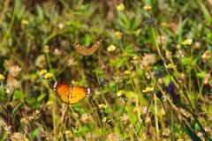 在一个惊人的小组的两只美丽的泰国蝴蝶微小的白色和黄色花上面,在泰国庭院公园 库存照片