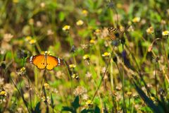 在一个惊人的小组的两只美丽的泰国蝴蝶微小的白色和黄色花上面,在泰国庭院公园 免版税图库摄影