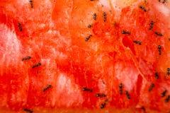 在一个成熟西瓜的蚂蚁 免版税库存照片