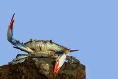 在一个战斗姿势的活青蟹在岩石 免版税库存照片