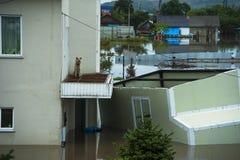 在一个房子的阳台的狗在洪水/洪水/城市期间的 库存照片