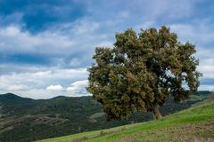 在一个托斯坎风景的橡树在锡耶纳附近 免版税库存照片