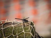 在一个捕鱼网的蜻蜓 免版税库存图片